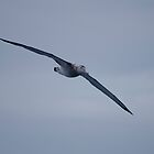 Wandering Albatross cruises the Drake Passage by mcreighton