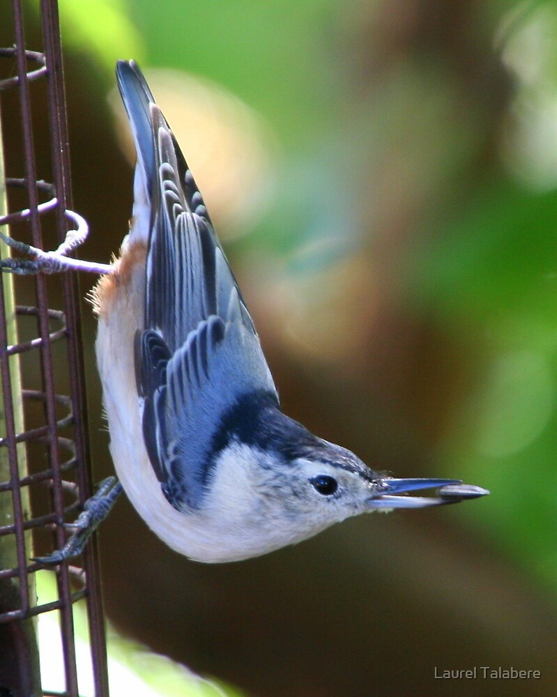Got It!! White-breasted Nuthatch with Sunflower Seed by Laurel Talabere