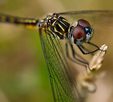 Blue Dasher by crystalseye
