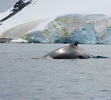 Humpback whale surfacing - Antactica by mcreighton