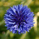 Blueflower by Esther  Moliné