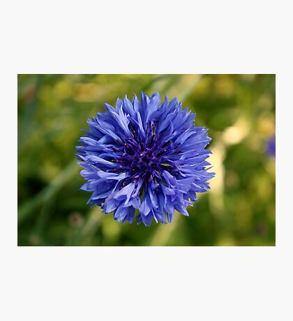Blueflower Photographic Print
