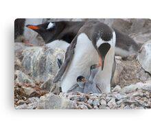 Gentoo Penguin feeding chick in Antarctica Metal Print