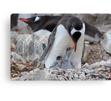 Gentoo Penguin feeding chick in Antarctica Canvas Print