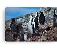 Chinstrap penguin chorus Antarctica Canvas Print