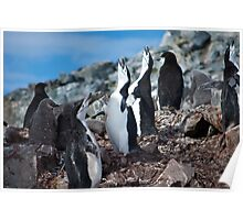 Chinstrap penguin chorus Antarctica Poster