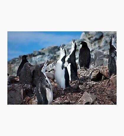Chinstrap penguin chorus Antarctica Photographic Print