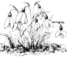 Scribbler snowdrops by Ann Mortimer