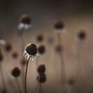 winter daisies by lucy loomis