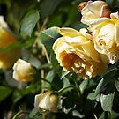 Cluster of Yellow Roses by shane22