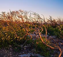 Trees in Flinders Chase National Park, Kangaroo Island by Elana Bailey