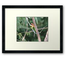Chestnut-headed Bee-eater Framed Print