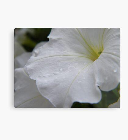Dew on white flowers Metal Print