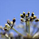 Parsley Seeds by Hege Nolan