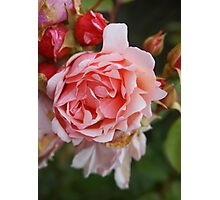 The last rose of summer Photographic Print