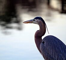 Great Blue Heron - Florida by Brian Barnes StormChase.com