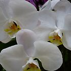 White Orchids 2 by ange2