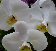 White Orchids 2 by Angela Gannicott