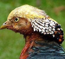 Bob Marley Look Alike! - Golden Pheasant - NZ ** by AndreaEL
