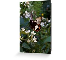 Orchard Swallowtail Butterfly - Papilio aegeus Greeting Card