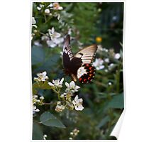 Orchard Swallowtail Butterfly - Papilio aegeus Poster