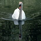 Swanning down the Great Ouse by Paul  Green