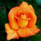 Dreamy Orange Rose by BlueMoonRose