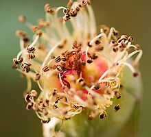 stamens from above by Manon Boily
