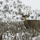 Winter Buck by Gene Praag