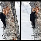 Pileated Woodpecker Diptych by Patrick Downey