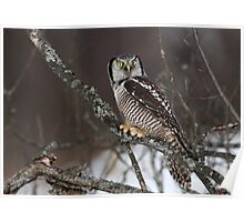 Eye To Eye / Northern Hawk Owl Poster