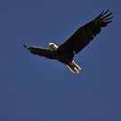 Eagle in Flight 1, As Is by Kim McClain Gregal