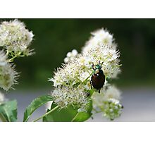 Cherry Blossom Beetle Photographic Print