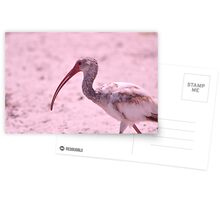 Young Ibis, As Is Postcards