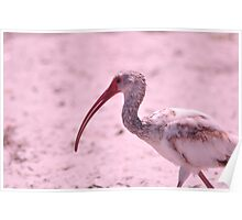 Young Ibis, As Is Poster