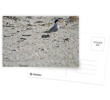 Mama and Baby Tern, As Is Postcards