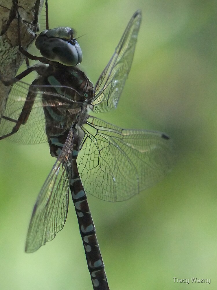 Dragonfly Blues and Greens by Tracy Wazny