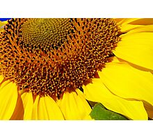 cheery sunflower close up Photographic Print