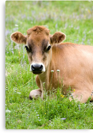 Caramello - NZ jersey cow by Jenny Dean