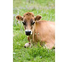 Caramello - NZ jersey cow Photographic Print
