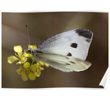 Spotted Butterfly Poster
