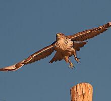 011411 Ferruginous Hawk by Marvin Collins