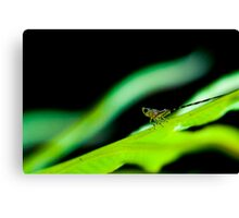 Leafhopper Nymph II Canvas Print