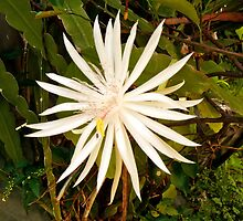 Night Blooming Cactus by D. D.AMO
