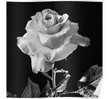 """Baron De Rothschiid"" Rose Poster"