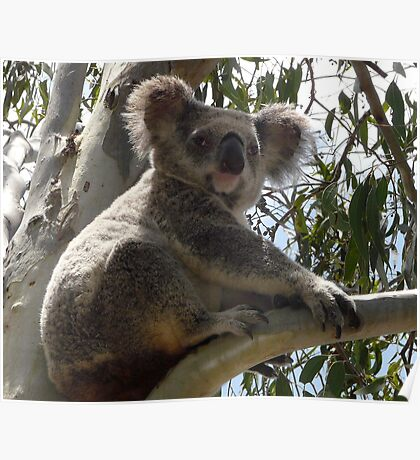 Formal Portrait Sitting - Billy Koala 1 Poster