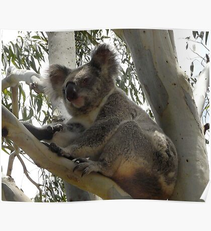 Formal Portrait Sitting - Billy Koala 2 Poster