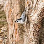 White breasted Nuthatch by Tracey  Dryka