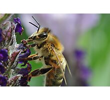 Lavendar Tea For A Bee Photographic Print