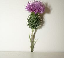 Scottish Thistle by Anna Cooke